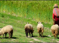 Wallpapers Trips : South America Bolivienne et ses moutons