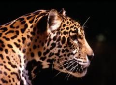 Fonds d'écran Animaux Jaguar de profil
