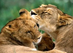 Wallpapers Animals Tendresse de la savane...