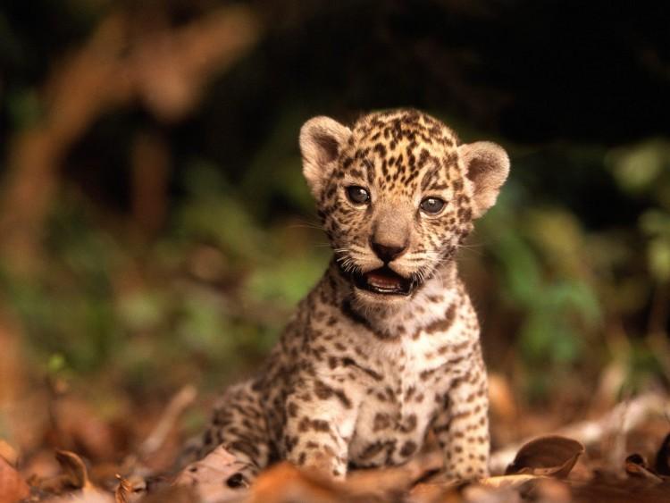Fonds d 39 cran animaux fonds d 39 cran f lins jaguars b b jaguar par honey - Bebe du jaguar ...