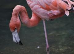Fonds d'écran Animaux flamand rose