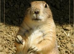 Fonds d'écran Animaux La marmotte regarde