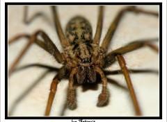 Fonds d'écran Animaux La Tégénaire (M) araignée