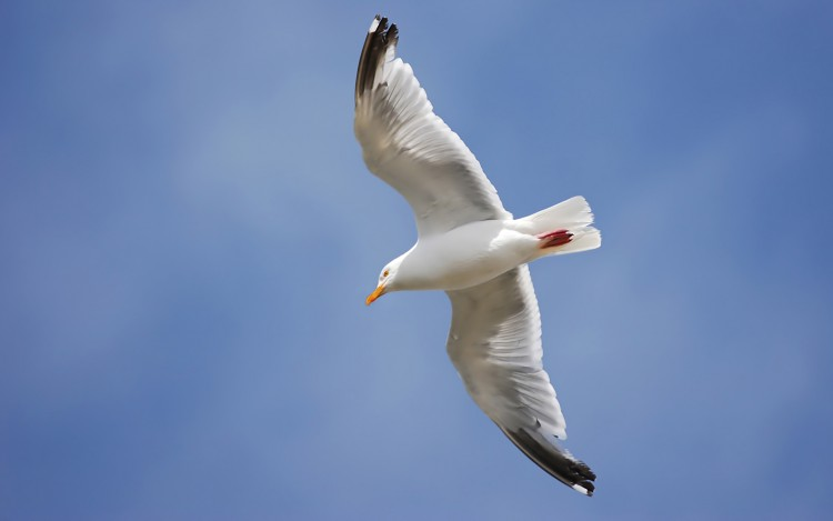 Fonds d'écran Animaux Oiseaux - Mouettes et Goélands Goéland Argenté