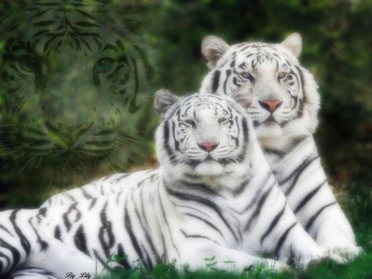 Wallpapers Animals Felines - Tigers Tigres blancs