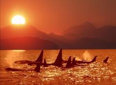 Fonds d'�cran Animaux Orques