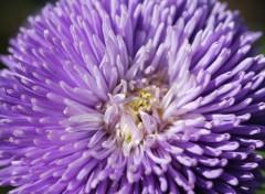 Fonds d'écran Nature Callistephus 'Gala bleu lavande'