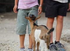 Fonds d'écran Animaux chèvre et enfants