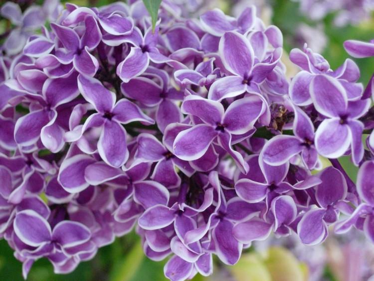 fonds d 39 cran nature fonds d 39 cran fleurs couleur lilas par koklikom. Black Bedroom Furniture Sets. Home Design Ideas