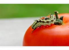 Fonds d'�cran Animaux La Chenille se prom�ne sur une tomate