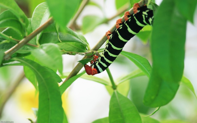 Wallpapers Animals Insects - Caterpillars Chenille martiniquaise