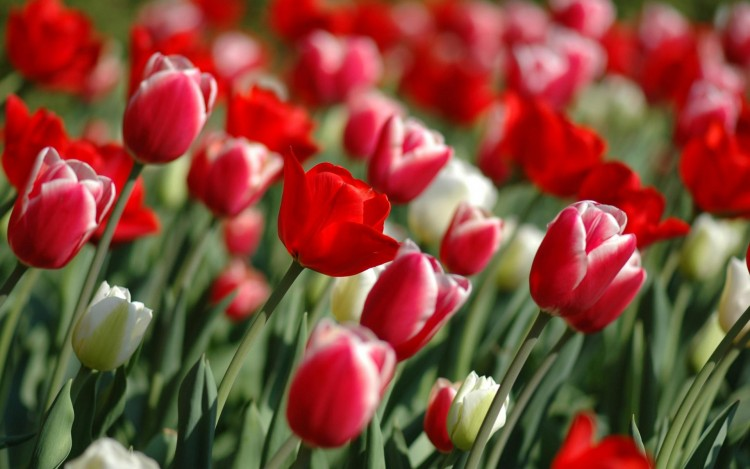 Wallpapers Nature Flowers Les tulipes