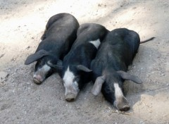Wallpapers Animals Les 3 petits cochons