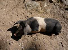 Wallpapers Animals Cochon sauvage coloré