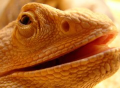 Wallpapers Animals Mâle Pogona