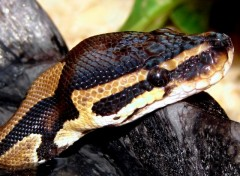 Wallpapers Animals Python Royal