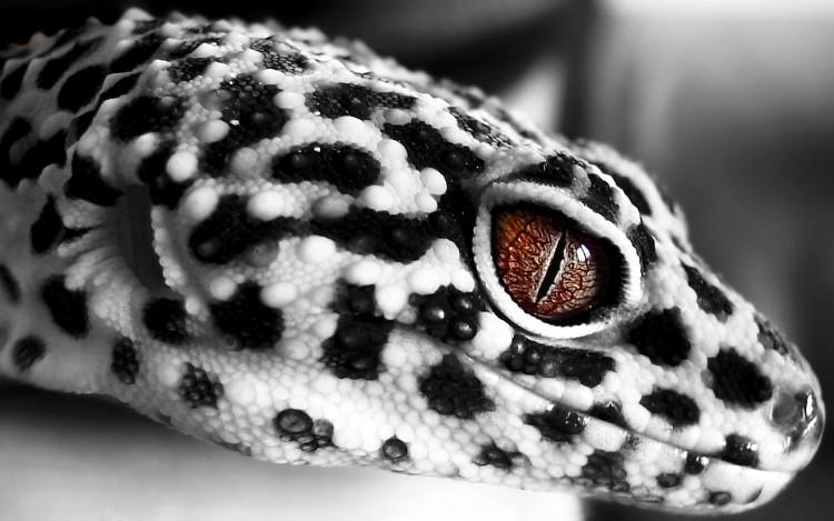 fonds d 39 cran animaux fonds d 39 cran l zards iguanes gecko l opard par jsteck. Black Bedroom Furniture Sets. Home Design Ideas