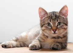 Wallpapers Animals Chatons