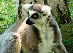 Wallpapers Animals Lemurien