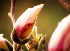 Wallpapers Nature Magnolia Forever