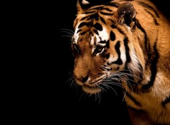 Wallpapers Animals Tigre [