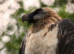 Wallpapers Animals Regard de vautour
