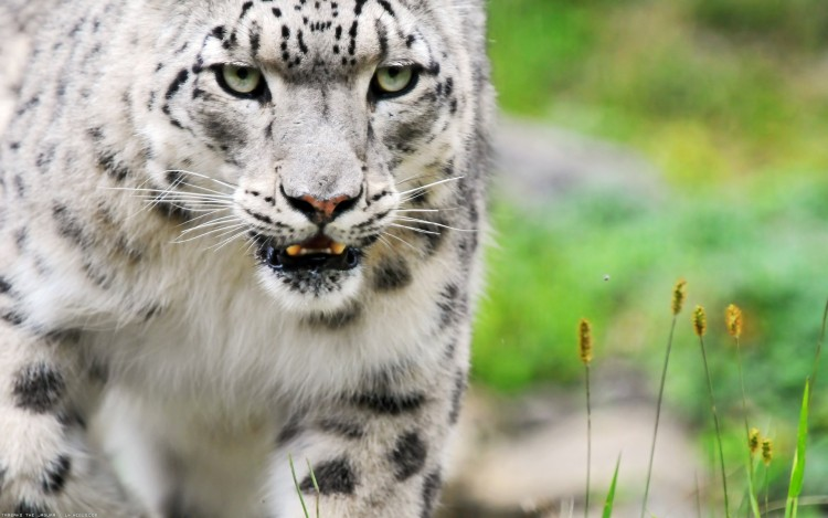 Wallpapers Animals Felines - Snow panthers Regard glacé