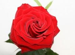 Fonds d'écran Nature Rose rouge