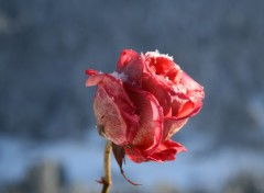 Wallpapers Nature Rose et neige