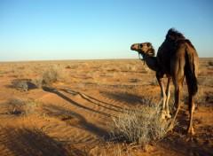 Wallpapers Animals Un Dromadaire dans le désert