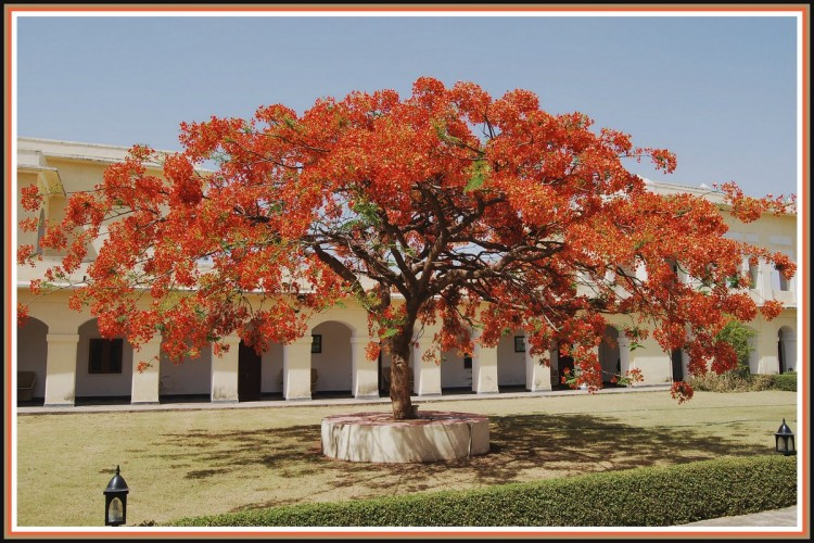 Wallpapers Trips : Asia India Flamboyant à Sariska - Rajasthan