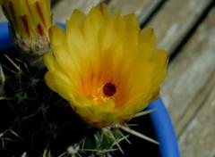 Wallpapers Nature cactus en fleur