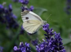 Wallpapers Animals Papillon sur lavande