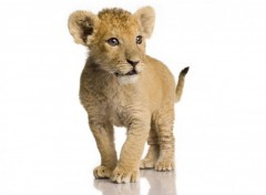 Wallpapers Animals Lionceau