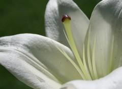 Wallpapers Nature Coeur de Lys blanc