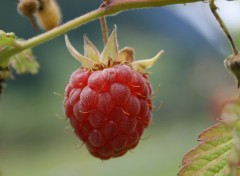 Wallpapers Nature Framboise