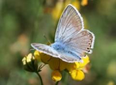 Wallpapers Animals Papillon bleu clair