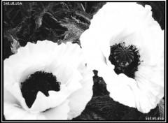 Fonds d'écran Nature fleurs fleur noir blanc image photo photographie pavot
