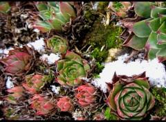 Fonds d'écran Nature nature fleurs plantes choux neige