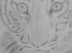 Wallpapers Art - Pencil Young Tiger