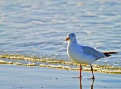 Fonds d'écran Animaux Herring Gull
