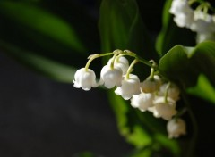 Fonds d'écran Nature Muguet