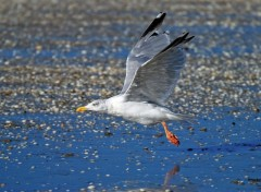 Fonds d'écran Animaux Herring Gull II