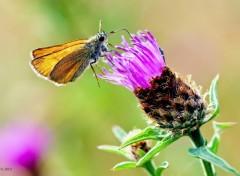 Fonds d'écran Animaux Butterfly (Chapter I)