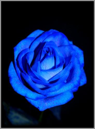 fonds d'écran nature > fonds d'écran fleurs rose bleu par l0wa