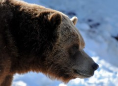 Fonds d'écran Animaux grizzly