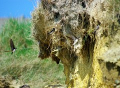 Fonds d'écran Animaux Vol d'hirondelles autour de leurs nids