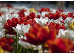 Wallpapers Nature Tulipes 03