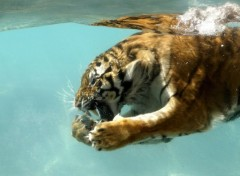 Wallpapers Animals Tigres