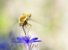 Wallpapers Animals Bombyle
